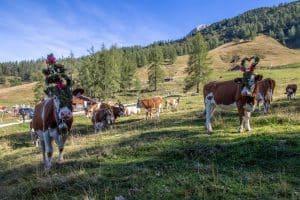 geschmückte Kühe