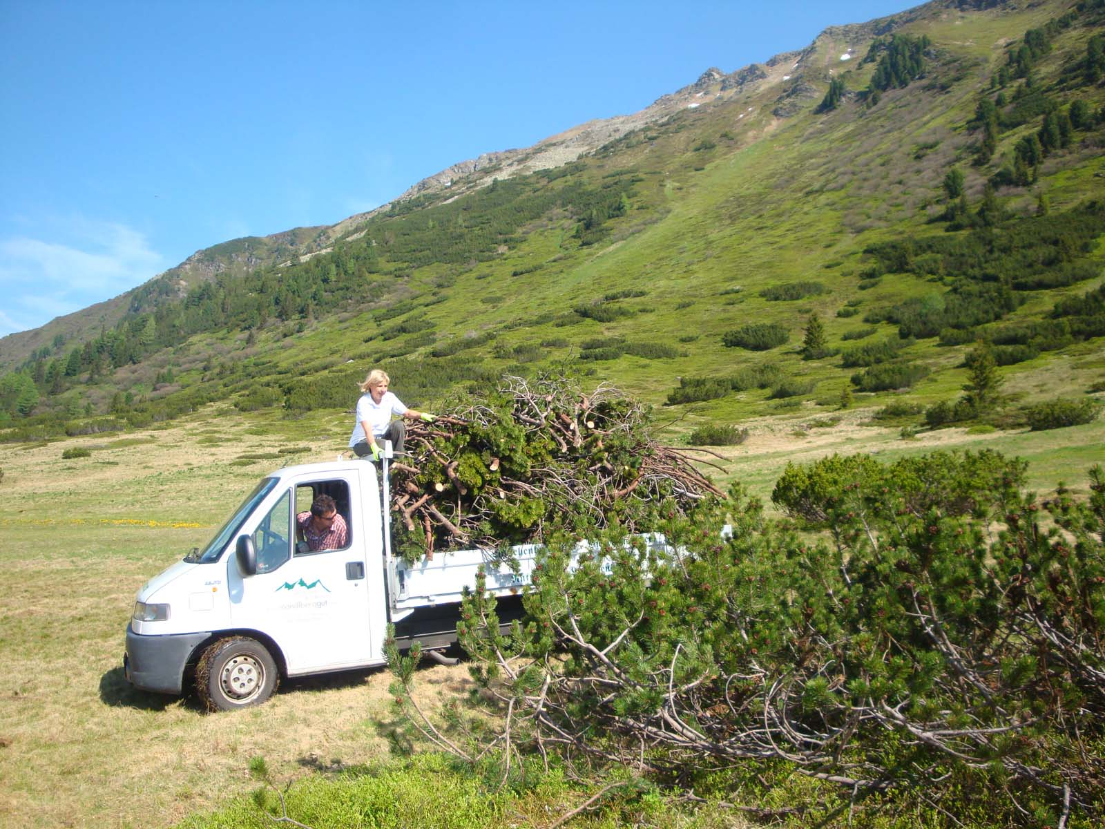 mountain pine oil and natural products