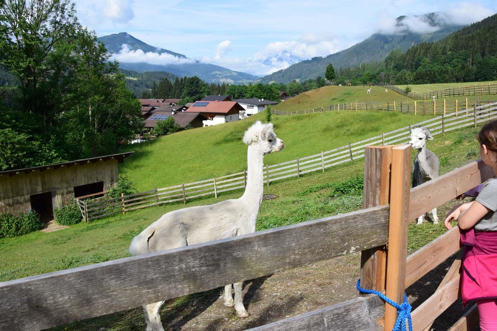 Alpaka in Eben im Pongau
