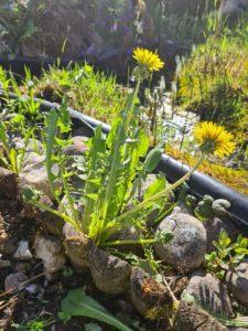 Brennessel Smoothie aus dem Garten