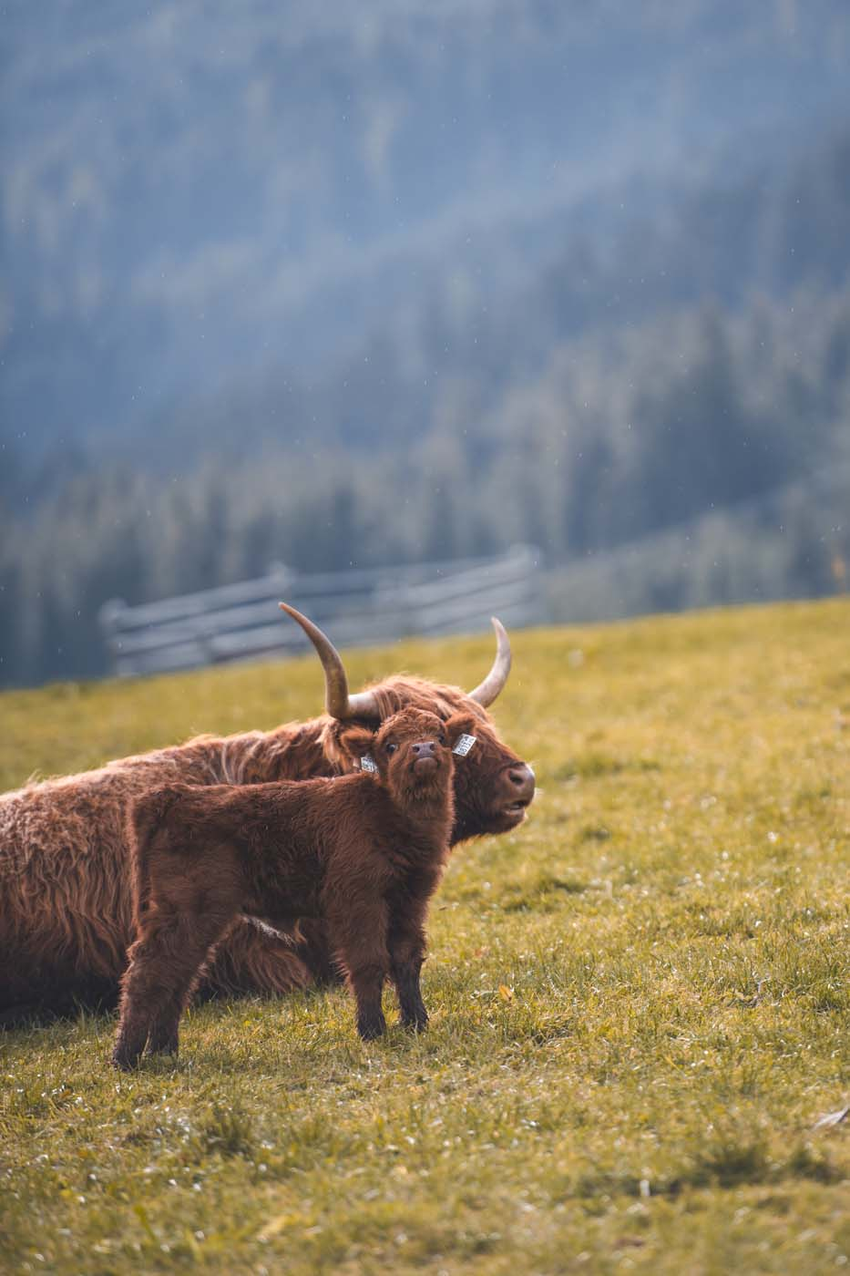 Hotel Scheffer mit regionalem Fleisch, Schottisches Hochlandrind essen, Tierwohl, Salzburgerland, Regional