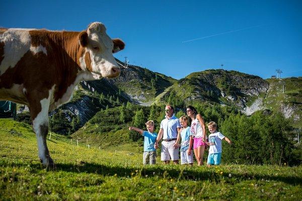 Kuh in Zauchensee
