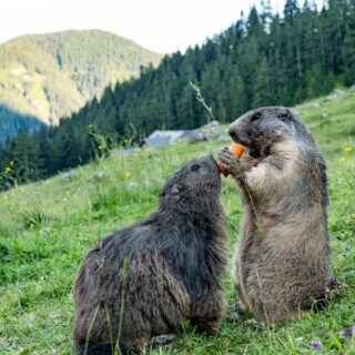 Please share it with me 👏😊😉. Who do you want to share your weekend adventure with? 🍁☀📸🪂🚵♂️🏔 Tag your weekend buddy 👌.   #bloghuette #salzburgersportwelt #adventure #weekend #fun #hiking #outdoorlovers #perfectday #cute #animalfriends #passion #bettertogether #softfur #mtb #nature #animalpower #animallove #purenature #whisteling #marmot   (c) 📸 Österreichs Wanderdörfer / Karmen Nahberger